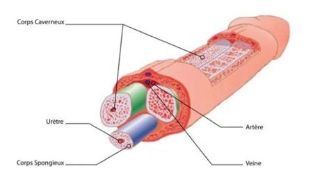 Penoplastie prix : Le prix d'une pénoplastie varie en fonction du praticien, du niveau d'intervention et de la zone géographique